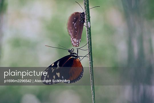 Two Butterflies - p1696m2296542 by Alexander Schönberg
