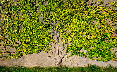 Wall with overgrown ivy - p301m2075526 by Sven Hagolani