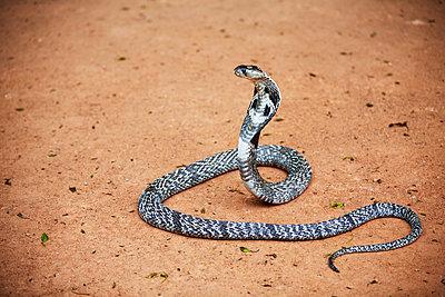 Cobra on sand - p312m1570417 by Anna Kern