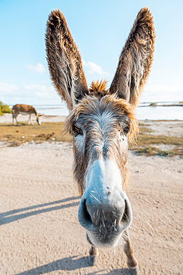Close up of face of donkey - p555m1491070 by John Duarte