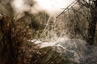 Close up of cobweb in dew - p300m2250307 by Anke Scheibe