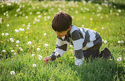 Young boy picking white fluffy dandelion flower in a grassy field. - p1166m2113044 by Cavan Images