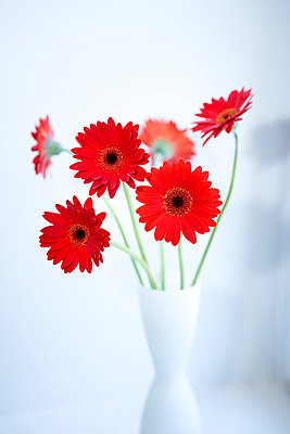 Red Gerbera In White Vase, Studio Shot - p8473200 by Thomas Carlgren
