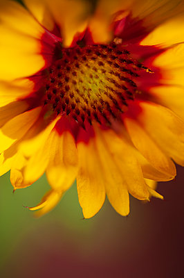 Close-up of gaillardia flower - p1047m2015415 by Sally Mundy