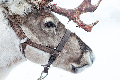 close up of a reindeers head - p1302m1148436 by Richard Nixon
