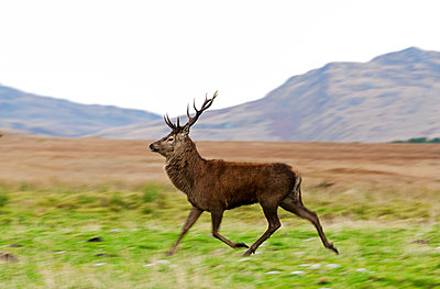 Isle of Jura, Scotland. A red deer stag runs to protect his hinds from other stags. - p652m1505104 by John Warburton-Lee