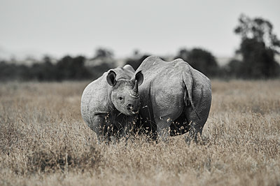 Rhinoceroses, mother animal and young, Kenya - p706m2158454 by Markus Tollhopf