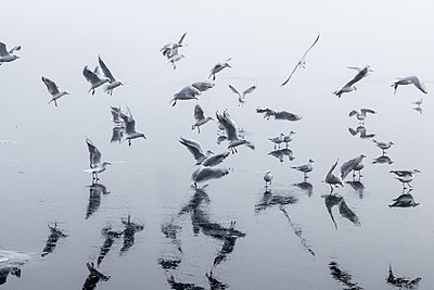 Flock of seagulls over Havel river - p739m1104196 by Baertels