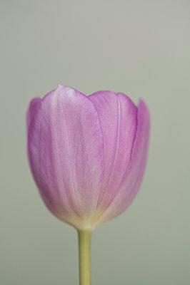 Close-up of single pink tulip - p1047m1016235 by Sally Mundy