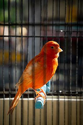 canary bird - p1657m2263544 by Kornelia Rumberg