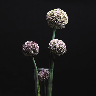 Garlic flowers - p813m924513 by B.Jaubert