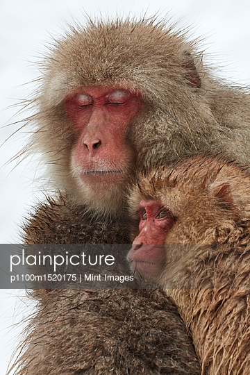 Japanese Macaque, Macaca fuscata, mother and two young huddling together for warmth in the winter snow. - p1100m1520175 by Mint Images