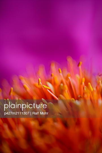 Protea pistil - p427m2111307 by Ralf Mohr