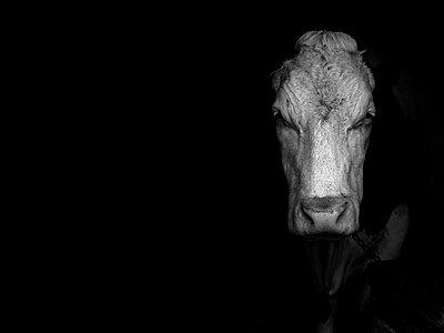A cow - p1521m2064529 by Charlotte Zobel