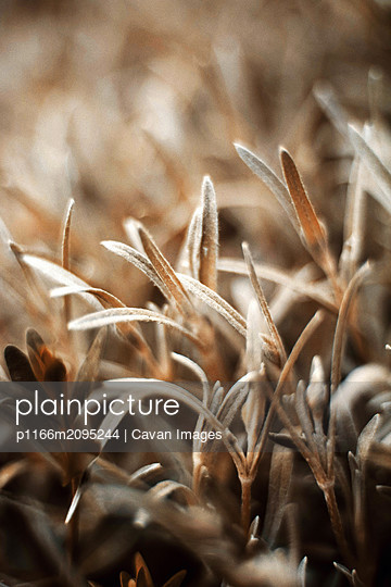 Newborn fresh leaves - p1166m2095244 by Cavan Images