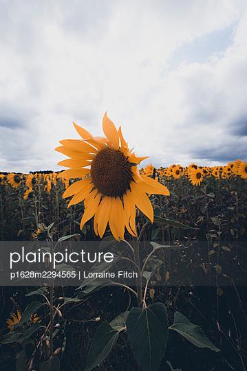 Sunflower field - p1628m2294565 by Lorraine Fitch