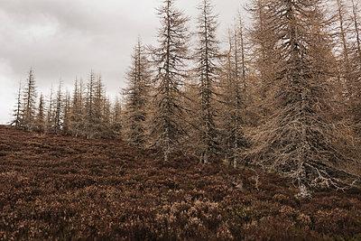 Tannenwald in den schottischen Highlands - p1477m2038946 von rainandsalt
