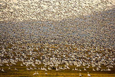 Snow Geese take off and land at Middle Creek Wildlife Management Area in Kleinfeltersville, PA - p3431008 by Jim Lo Scalzo