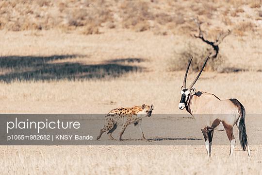 Eine Tüpfelhyäne und eine Oryxantilope, Kalahari, Südafrika - p1065m982682 von KNSY Bande