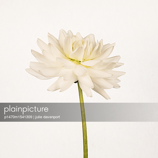 Study of white dahlia - p1470m1541309 by julie davenport
