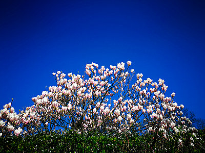 Magnolia tree - p551m1585089 by Kai Peters