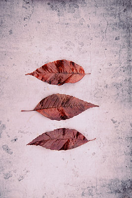 Three autumn leaves - p597m1564566 by Tim Robinson