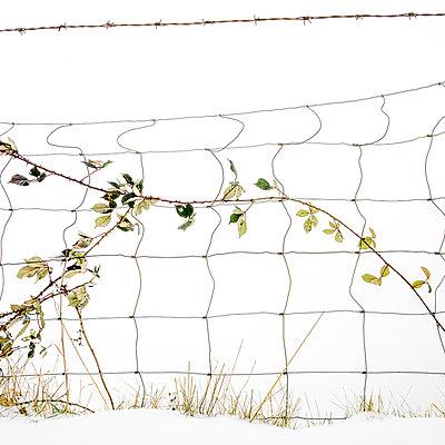 Thorny bramble in a snow field.  - p813m1000140 by B.Jaubert