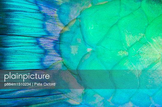 Redlip Parrotfish scales, Raja Ampat Islands, Indonesia - p884m1510234 by Pete Oxford