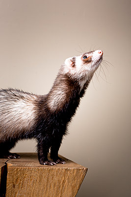 Ferret - p1076m1064223 by TOBSN