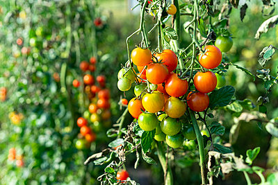 Heirloom ripe colorful organic tomatoes on the vine - p1166m2137181 by Cavan Images