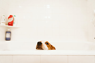 mixed breed puppy pokes her head above the bathtub before bathtime - p1166m2177398 by Cavan Images