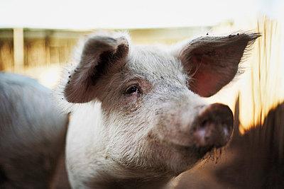 Schweineportrait - p8440140 von Markus Renner