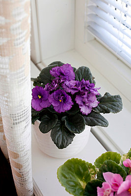 Plant, African Violet - p8473602 by Johanna Norin