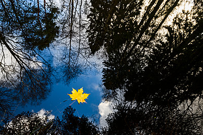 Yellow maple leaf floating on water - p312m1532940 by Mikael Svensson