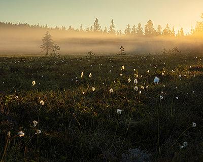 Pine trees at sunset in Koppgangen Nature Reserve, Sweden - p352m2120462 by Gustaf Emanuelsson