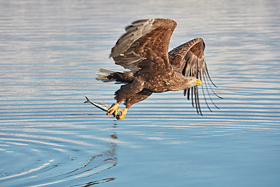 White-Tailed Eagle, Haliaeetus albicilla, catching fish in deep winter. - p1100m1520156 by Mint Images
