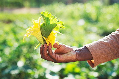 African woman holds pumpkin flower in hand - p1167m2273422 by Maria Schiffer