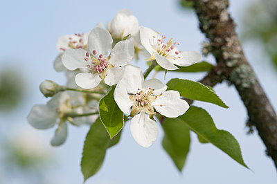 White apple blossoms - p300m1581358 by Claudia Rehm