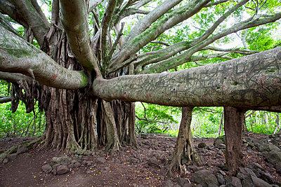 Hawaii, Maui, Hana, Banyan Tree. - p442m860357 by Jenna Szerlag
