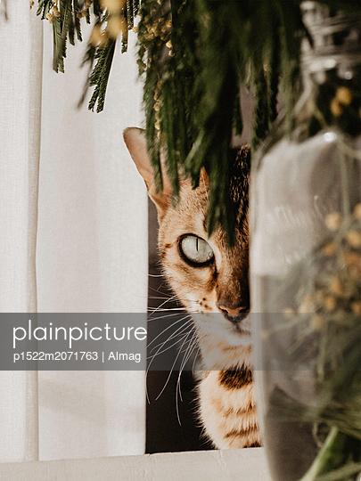 Katze behind a vase with mimosas - p1522m2071763 by Almag