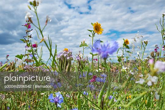 Wildflowers blooming in springtime meadow - p300m2206542 by Bernados