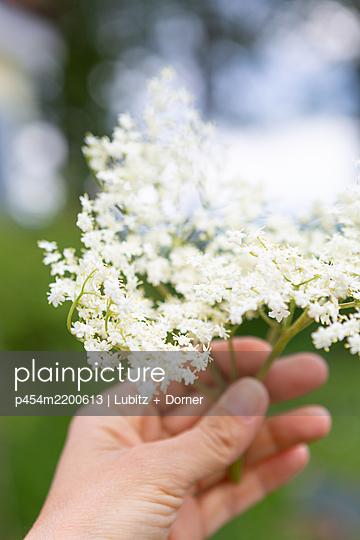 Elderflowers - p454m2200613 by Lubitz + Dorner