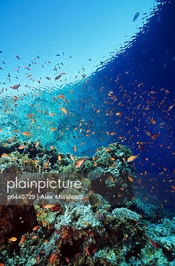 Lyretail anthias swarming at reef edge - p6440729 by Alex Misiewicz