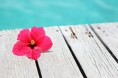 Hibiskusblüte - p045m668527 von Jasmin Sander