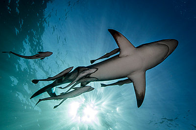 Oceanic Blacktip Shark (Carcharhinus Limbatus) swimming near surface of ocean, Aliwal Shoal, South Africa - p429m1180961 by Steve Woods Photography