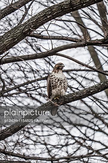 Falke im kahlen Baum - p1243m1154825 von Archer