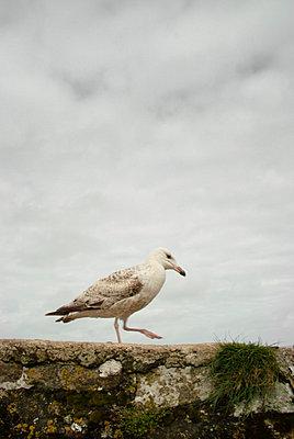 Möwe spaziert auf einer Mauer - p597m793899 von Tim Robinson
