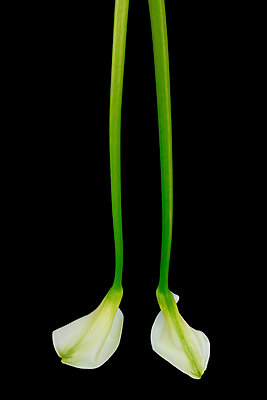 Calla lily  VII - p977m1003317 by Sandrine Pic