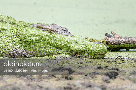 A crocodile,  Crocodylus niloticus, lies on the side of a waterhole covered in algae - p1100m2292864 by Mint Images