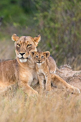 Kenya, Laikipia.  A lioness with her small cub. - p652m1221484 by Nigel Pavitt